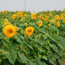 Premium Sunflowers 2009