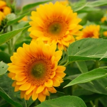 Premium-Sunflowers-2011
