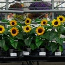Premium-Sunflowers-2012