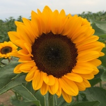 Premium-Sunflowers-2014