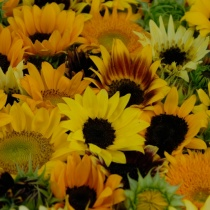 Premium-Sunflowers-2015